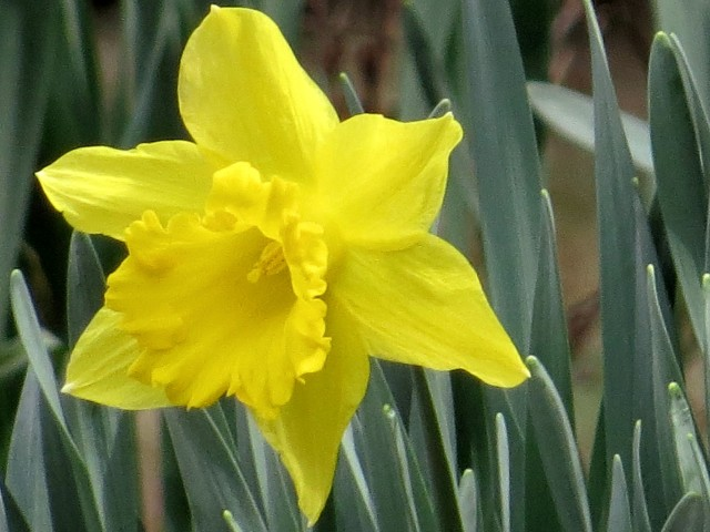 I could do an all-daffodil blog post, and all the pictures would be perfect. Or not. It's in the eye of the beholder.
