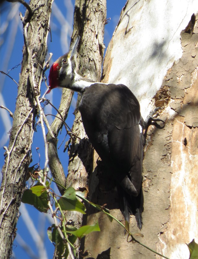 Female Pileated woodpecker, from the sunny side: