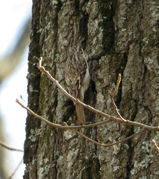 Brown Creeper - in the center, facing up. Can you believe how small and invisible that is?