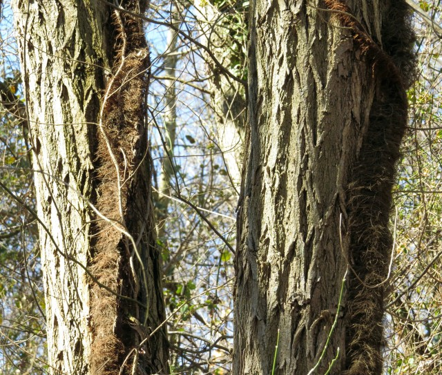 Twin locust trees - the deeply furrowed bark is easy to recognize.