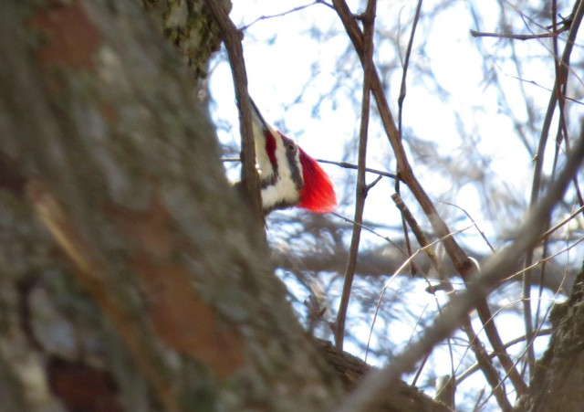 Male Pileated woodpecker, from the shady side
