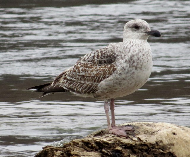 An as-yet unidentified gull. It's a big one.