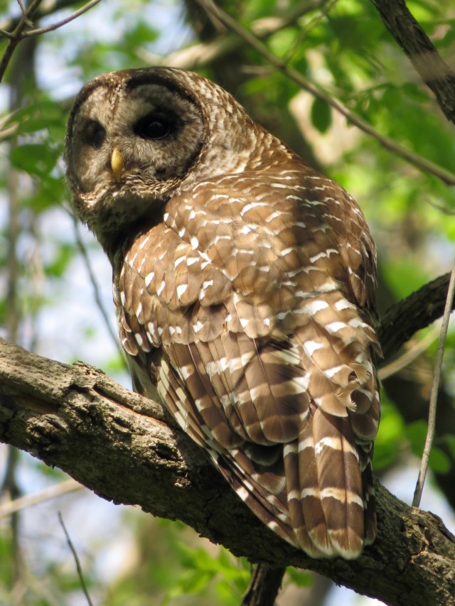 Barred owl at Pony Pasture. A Barred owl can tell a male from a female - I, however, am unable.