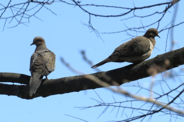 A pair of mourning doves: