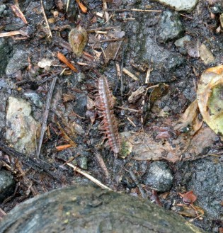 Centipede or millipede Ev pointed out this morning. That's the toe of my shoe in the bottom of the frame.