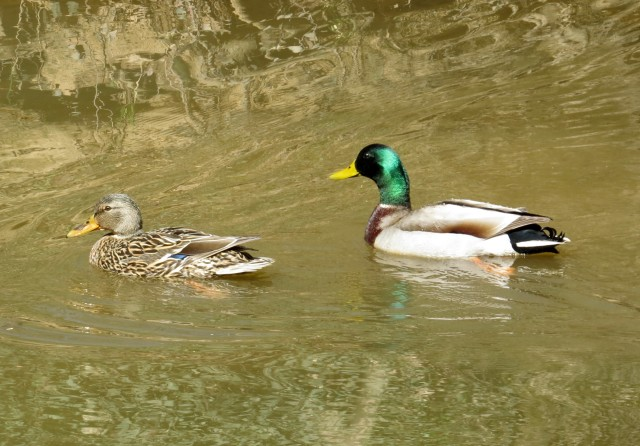 A pair of mallards