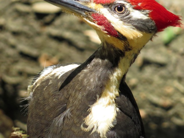 Adult male Pileated woodpecker tearing up a rotten log at Pony Pasture. Look at that eye. Amazing.