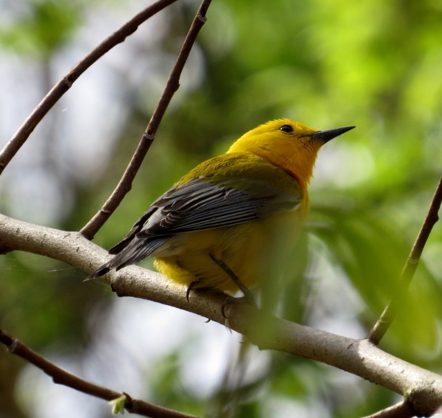 Prothonotary warbler at Pony Pasture