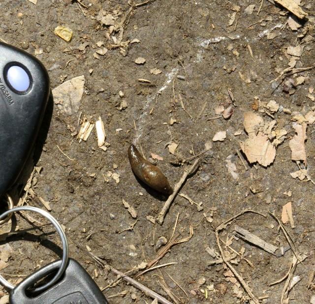 Terrestrial gastropod mollusc. AKA slug.