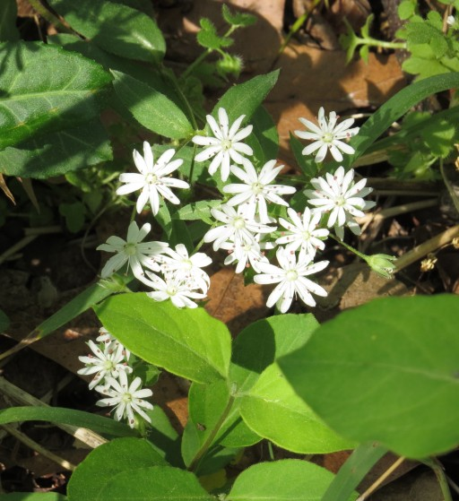 Star chickweed (count the petals before you read any further)
