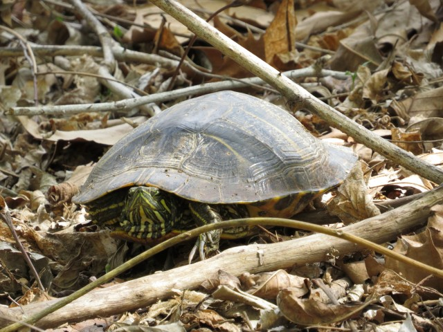 Male turtle (long claws) slowly warming up on the south bank of the river.