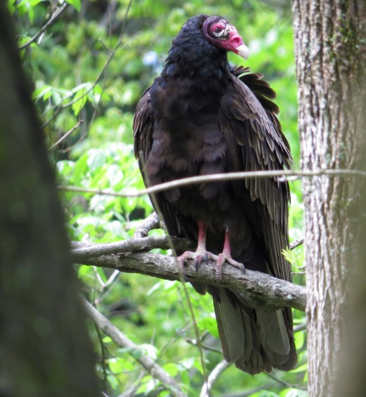 Turkey vulture in the forest on a Sunday afternoon.