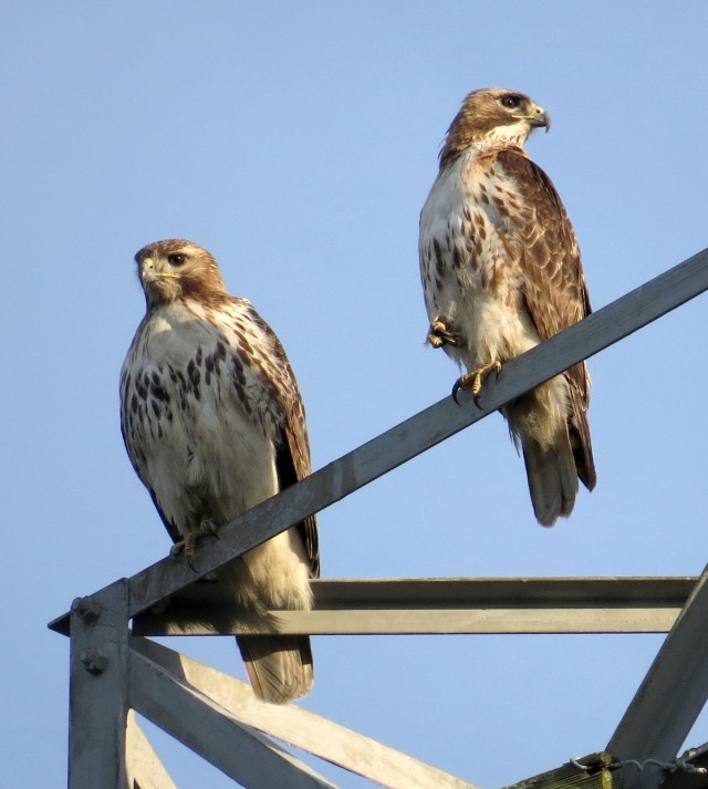 Pair of Red-tailed hawks - female is on the left