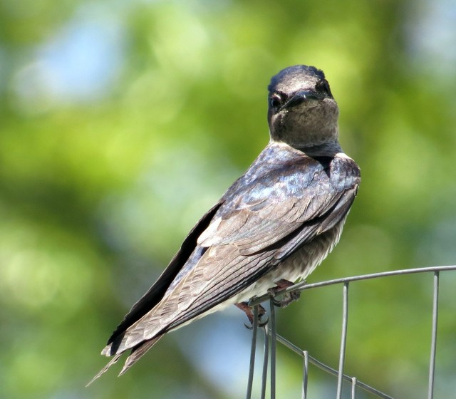 Beautiful female purple martin at Bryan Park.  Possibly that handsome guy's mate.