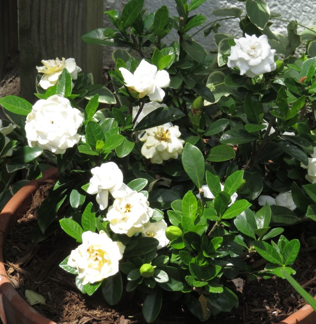 Speaking of a privilege. There is not one not-nice thing about gardenias.