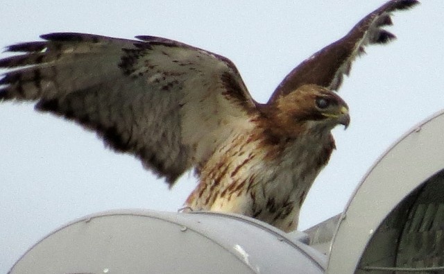 Hawk flapping its wings