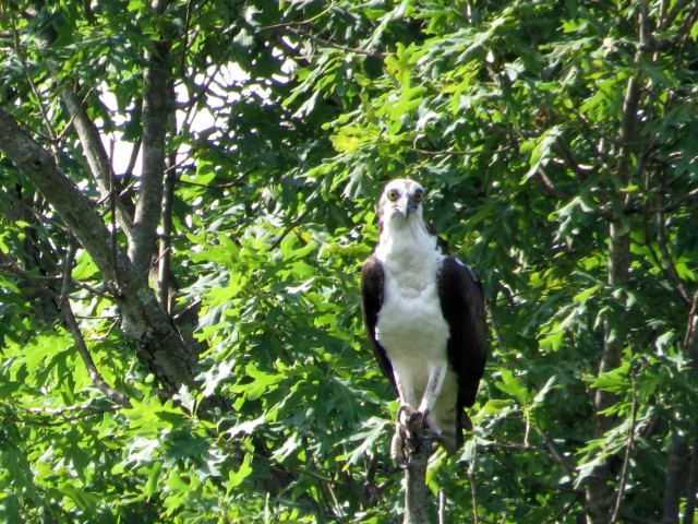 Is it my imagination? Or do you think that Osprey looks immature?