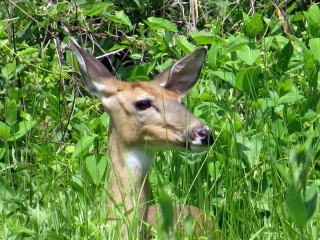 Whitetail deer at Pony Pasture. The dogs were right beside me!