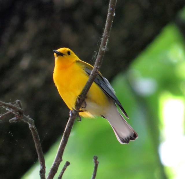 Prothonotary warbler. It's so bright it looks like it takes batteries.