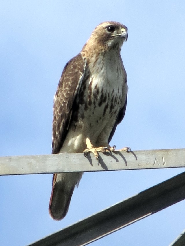 Red-tailed hawk. In view from the end of my street - I was and am amazed.