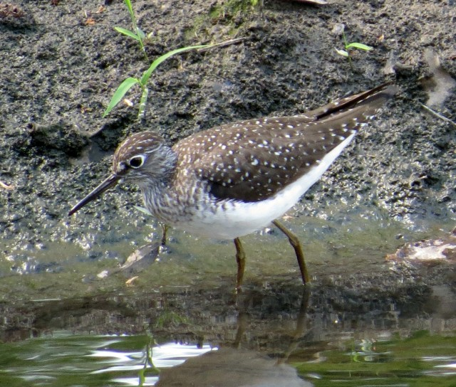 My first  ever Solitary sandpiper - Bryan Park