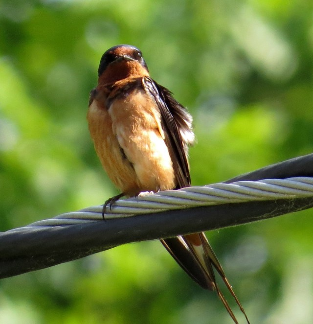 Barn swallow. THAT is a sharp picture. Great subject, great light, it makes it easy.