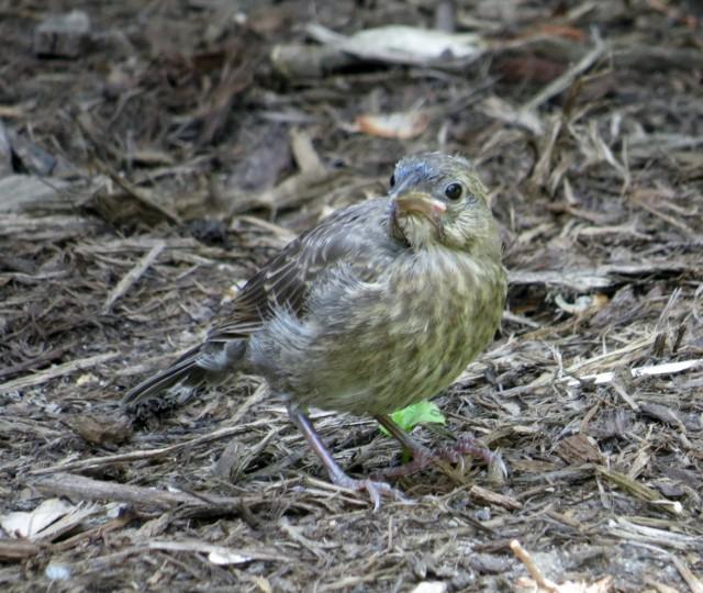 Uncertain fledgling