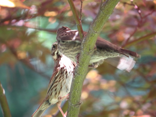 Uncertain fledgling makes it to safety of tree & doting parent