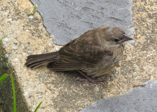 Yet another uncertain fledgling, this one on the front walk - and this one flew away too!