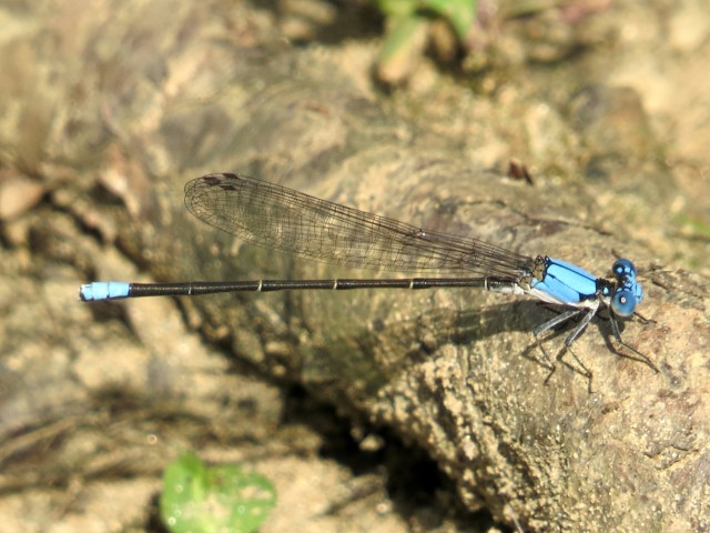 Blue dancers are always beautiful. And if one flies away, another will be along in short order.