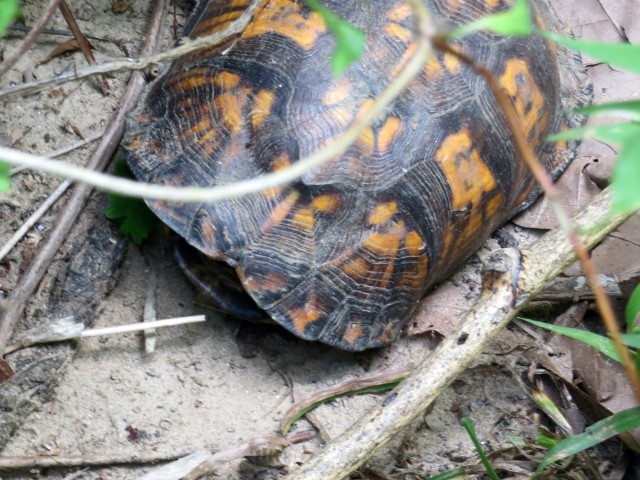 Fine looking box turtle at Pony Pasture