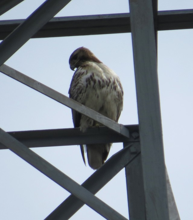 Female Red-tail. Probably waiting for another cottontail to make its last mistake.