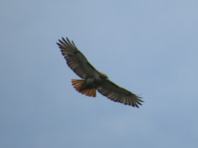 Slightly improved flying hawk picture