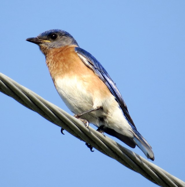 Bluebird on a wire in front of Freeman HS