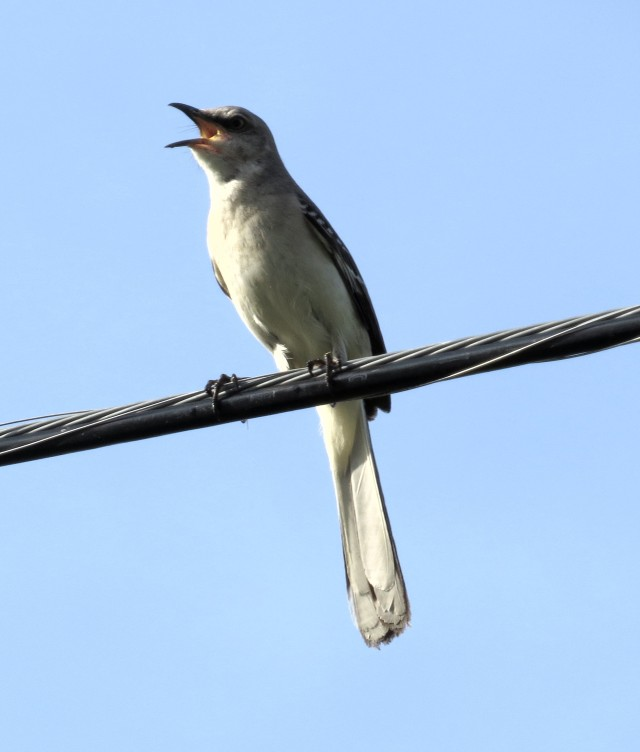 Enthusiastic mockingbird sharing the wire with the bluebird