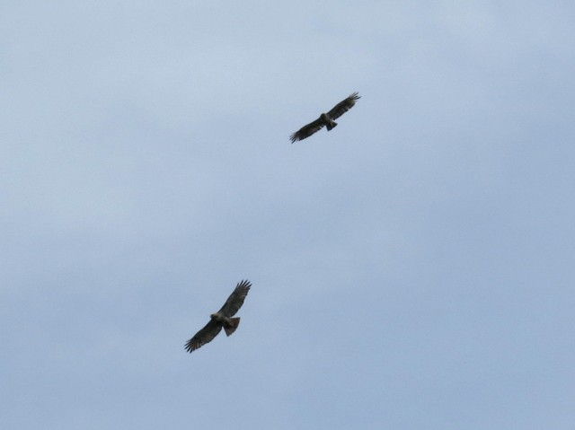 Pair of hawks soaring above my house. Our neighborhood is nearly overrun with cottontail rabbits. The hawks will help restore balance.