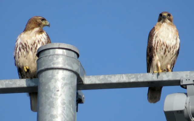 Female (left) and male Red-tailed hawks this morning at Freeman HS