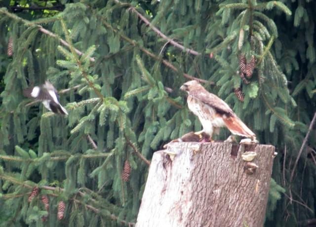 Red-tailed hawk on a stump; mockingbird on left, rabbit under-talon, pine trees in background