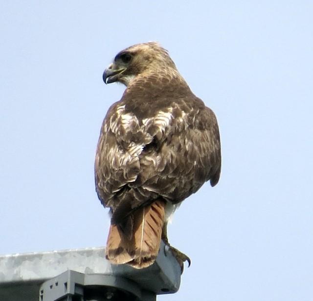 Neighborhood hawk. It's great to have them around.