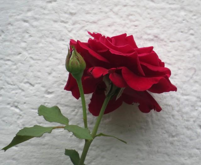 Beautiful old rose climbing a trellis next to our garage.