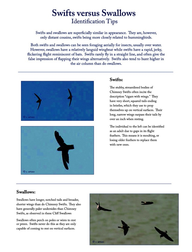 Swifts v. Swallows: