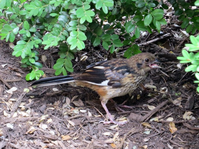 Young Eastern towhee under a boxwood in front of my office window.