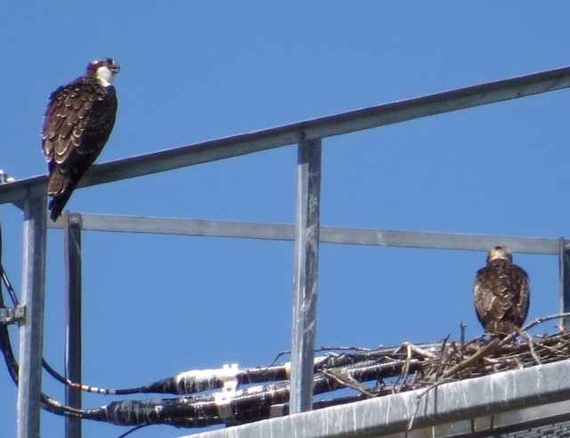 Two ospreys on a nest; I think that's a cell phone tower.
