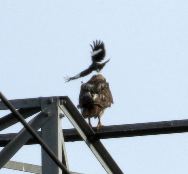 Mockingbird harassing hawk