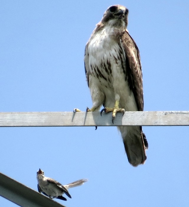 The hawk is still watching for a rabbit or a squirrel to run past. What is that mockingbird even DOING!?