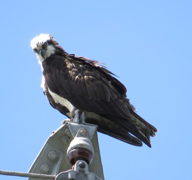 Osprey on a power pole