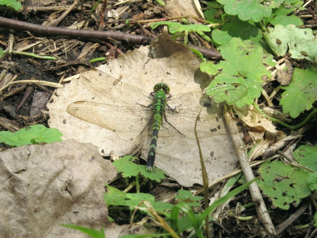 Eastern Pondhawk with matching chlorophyll colored leaves