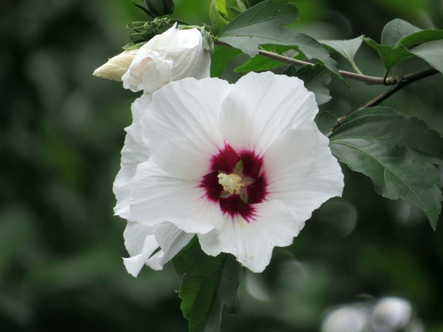 A big, bright, beautiful white Rose of Sharon (also in my backyard)