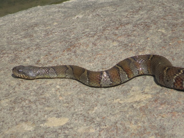 Northern water snake at Bryan Park. Good eye Ethan!