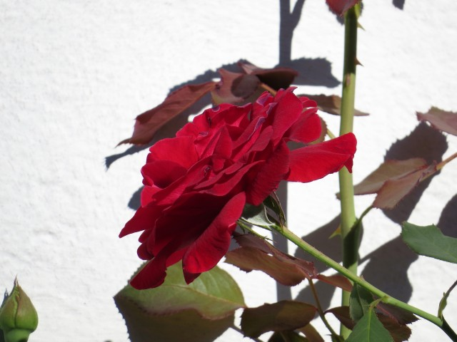 A rose like this is lovely in any month